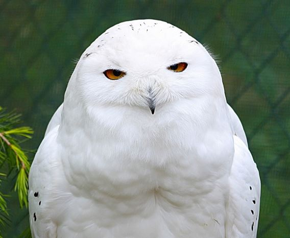 The Real Wyddfa Snowy Owl